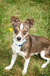 Eric - 9 month old male Chihuahua mix in Appleton, WI. Very friendly and happy; Loves to cuddle and give kisses; very affectionate; Very active; excited to play; Loves to be around people. Adoption fee: $260