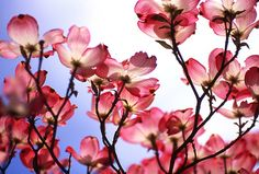 full page with book description Harris Real Estate book - Pretty Flowers, Colorful Flowers, Pink Flowers, View Wallpaper, Flower Wallpaper, Red Dogwood, Dogwood Flowers, Magnolia Wallpaper, Real Estate Book