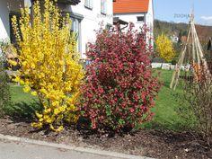Forsythia, Forsythie, Ribes sanguinea