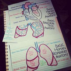 Apuntes organizados e inspiradores. Imágenes del corazón y los pulmones
