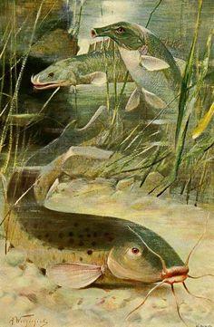 Eel Tailed Banjo Catfish