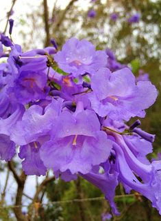 'Jacaranda Flowers' by PhotosbyCris
