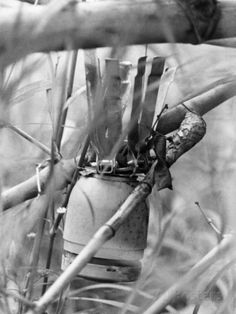 Viet Cong Grenade | Vietnam War Viet Cong Booby Traps Photographic Print - U.S. Army troops of the 9th Infantry Division discovered this death-package June 3, 1967, as they swept a thickly-wooded region of the Mekong Delta . Placed in the crotch of a bamboo stalk the explosive grenade could have detonated by careless brush