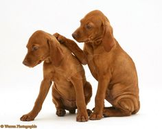 Vizsla Pups - Don't worry. It will be OK.