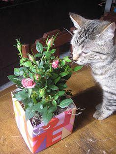 SugarPlum Kitty