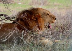 Big yawns and cat nap - lazy afternoon.  www.wildwindsafaris.com