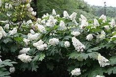Image result for hydrangea quercifolia