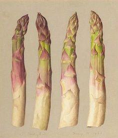 Four Asparagus by Eliot Hodgkin, a British artist, 1961 Image © The Ramsbury Manor Foundation, photo by AJ Photography Botanical Drawings, Botanical Illustration, Botanical Prints, Fruit And Veg, Fruits And Vegetables, Veggies, Juan Sanchez Cotan, Sibylla Merian, Tate Gallery