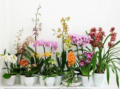 Phalaenopsis, dendrobium, masdevallia, cattleya, miltonia, cambria, oncidium, paphiopedilum, cymbidium : comment bien soigner son orchidée ? OHF