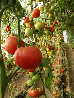Tomatoes field.