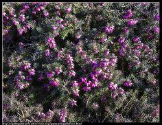 fotografie e altro...: Erica  - macro - HDR - photographic processing (88...