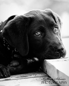 Labradors.com - Featured Photographer: Kathryn Schauer #labrador #puppy