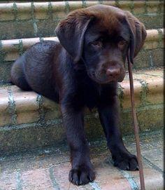 chocolate lab puppy by maribel