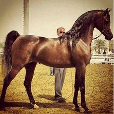 Spectacular Egyptian Stallion
