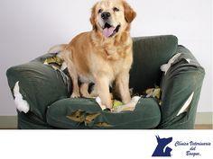 LA MEJOR CLÍNICA VETERINARIA DE MÉXICO. Si tu perro es hiperactivo, se rasca, muerde o lame de forma compulsiva, ladra de manera excesiva, jadea demasiado, destroza muebles o carece de apetito, puede sufrir de diestrés. Para ello, en Clínica Veterinaria del Bosque te recomendamos acudir a nuestras instalaciones para que médicos etólogos identifiquen qué sucede con el comportamiento de tu mascota y qué lo ocasiona. #veterinariadelbosque