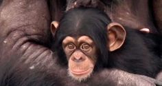 Chimps:  A New Life, Retirement. You'll Love When The Chimpanzee's See the Blue…