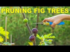 Pruning Fig Trees For Dormancy, Winter Storage And Maximum Production
