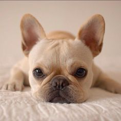 Frenchie...