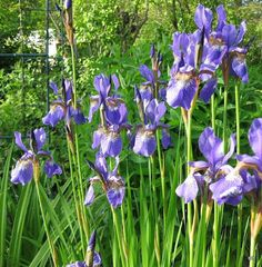 Siperiankurjenmiekka - Iris sibirica