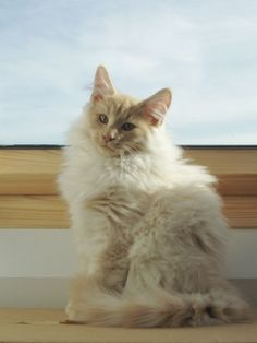 Creme Smoke Kittens av Fjellheia*CH