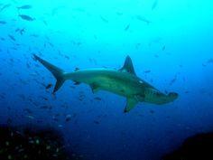 Tiburón martillo