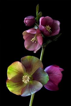 Helleborus (hellebore) by David Nichols, flower by visione