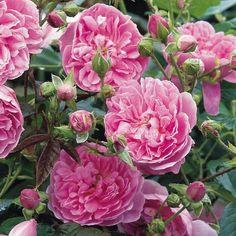 HARLOW CARR Englische Rose – gezüchtet von David Austin Strauchrosen