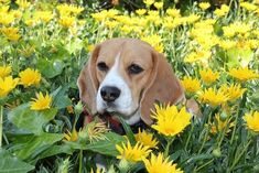 Kiaora The #beagle in the flowers