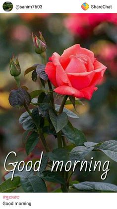 good morning images with love q uotes Good Morning Beautiful Flowers, Good Morning Roses, Good Morning Good Night, Beautiful Roses, Good Morning Messages, Good Morning Greetings, Morning Qoutes, Morning Pictures, Good Morning Images