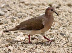 Verreaux Duif  (Van vroegevogels)