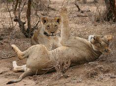 female lion - Google Search