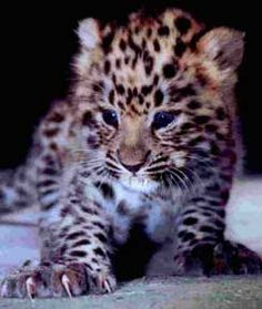 A baby leopard is born in a Swedish zoo... cute