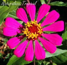 Flor típica de un Clavelón, género Zinnia