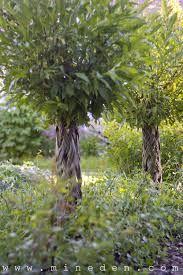 Nice willows