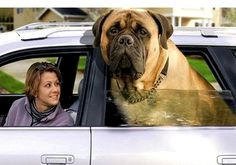"This dog photo has always amazed me and brought a smile to my face. Its been around the internet for awhile.  I'd love to meet ""him"".  English Mastiff?"