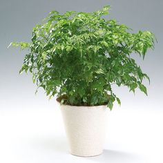 a fun, unique plant with such pretty foliage. A little delicate, but worth the care. China Doll Plant, China Garden, Floor Plants, Plants Are Friends, Best Indoor Plants, Jade Plants, Same Day Flower Delivery, Unique Plants, China Dolls