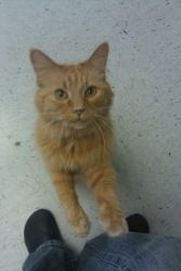 Simba is an adoptable Domestic Medium Hair-Orange Cat in Princeton, WV. My owner went over the Rainbow Bridge before I could follow her. I am now looking for a new lap to warm. The ladies here tell me...