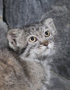 Pallas Cat Kitten - at Cincinnati Zoo