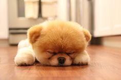 Boo - el perrito más mono del mundo