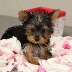 Carl is a male Yorkshire Terrier puppy for sale at PuppySpot. Call us today to learn more (reference 534021 when you call). #yorkshireterrier