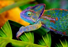 Wow..what a beautiful chameleon!