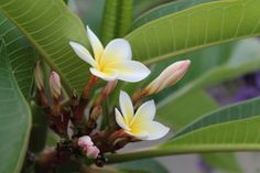 Frangipani Photo by Julie W. -- National Geographic Your Shot