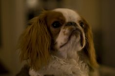 He's an English Toy Spaniel.