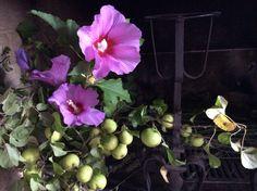 ibiscus e mele selvatiche