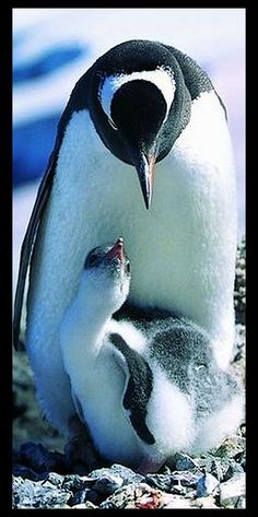PENGUIN with baby  #photo via: play.kapook.com                                                                                                                                                                                 More