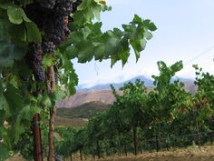 Monte De Oro Winery Vineyards - Monte De Oro Winery uses a combination of 21st century innovation and centuries-old tradition in an environmentally-responsible approach to growing its grapes and making quality wine.