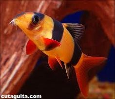 Introduction : Loach Fish is active bottom domicile scavengers ideally suited to the