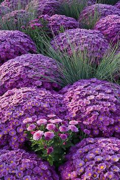 Purple Chrysanthemums! I like how the grass is in between. Need to remember for west side of house