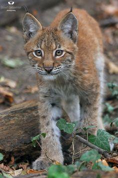 Focused Juvenile Lynx by Josef Gelernter on 500px