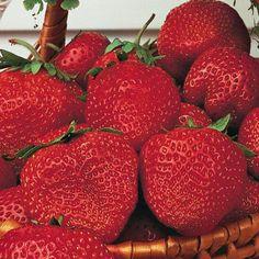 Gurney's Whopper Junebearing Strawberry - Gurneys Seed & Nursery